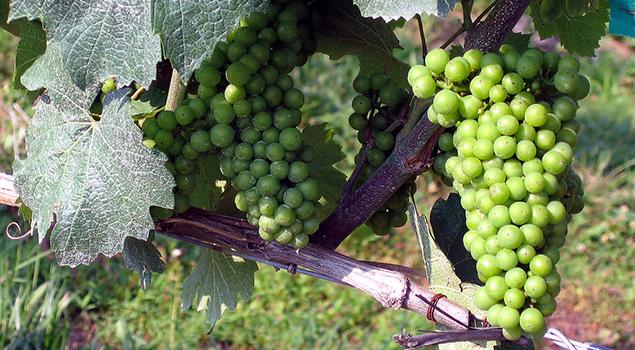 Wijngaard - Wat te doen op Kos?