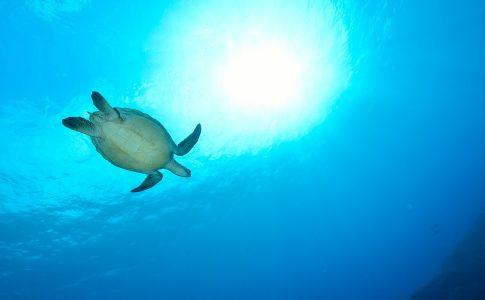 Schildpad in helderblauwe zee