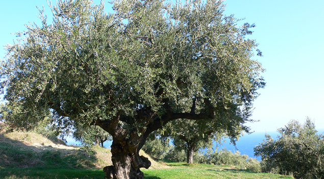 Weetjes over Griekenland - Olijfboom