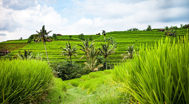 Rijstvelden in Bali