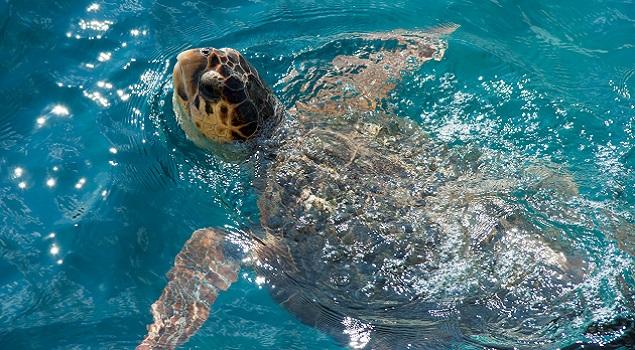 Caretta Caretta schildpad